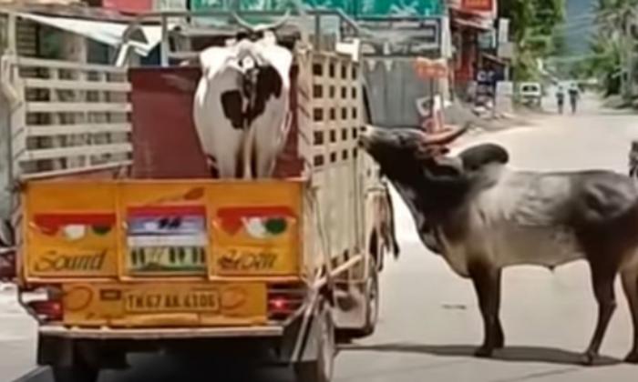 Vaca y Vaco